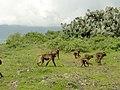 Gelada Baboon, Ethiopia 2013 - panoramio.jpg