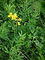 Gelb blühende Pflanze 2010.JPG