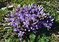 Gentianella Austriaca Rax Niederoesterreich DSC 5040w.jpg
