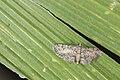 Geometridae (36683640035).jpg