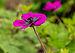 Geranium 'Sandrine'. Locatie, Tuinreservaat Jonker vallei.jpg