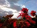 Geranium Flower.jpg