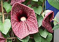 Gespensterpflanze (Aristolochia grandiflora) (14522217697).jpg