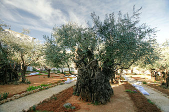 Gethsemane Garden (Mount of Olives) (3272135786)