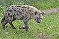 Gevlekte hyena (Spotted hyena) 001330 (23112787031).jpg