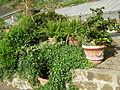 Giardino delle rose di firenze 09.JPG