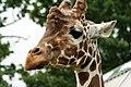 Giraffe (2680395035).jpg