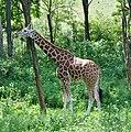 Giraffe (4847441883).jpg