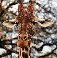 Giraffe in the Colchester Zoo.jpg