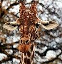 Giraffe in the Colchester Zoo
