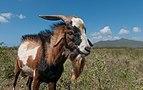 Goat in Margarita Island.jpg