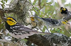 Golden-cheeked Warbler from The Crossley ID Guide Eastern Birds.jpg