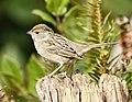 Golden-crowned Sparrow DSC0964vv.jpg