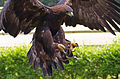 Golden Eagle 1a (6022386137).jpg