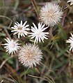 Golden aster Pyrrocoma apargioides seedheads and white stars of bracts.jpg