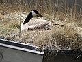 Goose Nesting on Grassy Roof (6878945278).jpg