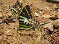 Graphium antiphates - Five-bar Swordtail 29.jpg