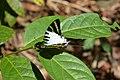 Graphium antiphates naira Moore, 1903 – Sahyadri Five-bar Swordtail at Kannavam RF (58).jpg