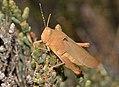 Grasshopper (23851196359).jpg