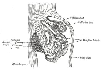 Stroma of ovary - Section of the fold in the mesonephros of a chick embryo of the fourth day. (Stroma of ovary labeled at center left.)