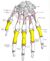 Gray220 - Proximal phalanges of the hand.png