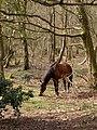 Grazing pony, Cowleys Heath, New Forest - geograph.org.uk - 394162.jpg