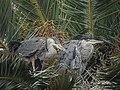 Great Blue Heron (34893610626).jpg