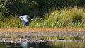 Great Blue Heron (Ardea herodias) in Flight - Algonquin Provincial Park, Ontario 02.jpg