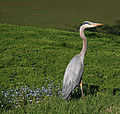 Great Blue Heron in Golden Gate Park.jpg