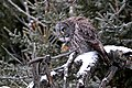 Great Gray Owl (31997954006).jpg