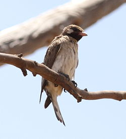 Greater Honeyguide-1.jpg