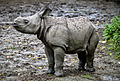 Greater One Horned Rhino Calf (9786570463).jpg