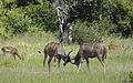 Greater kudu, Tragelaphus strepsicerosm - bulls locking horns in Kruger Park (19611591774).jpg