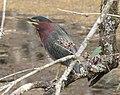 Green Heron at Six Mile Slough in Florida (31843741993).jpg