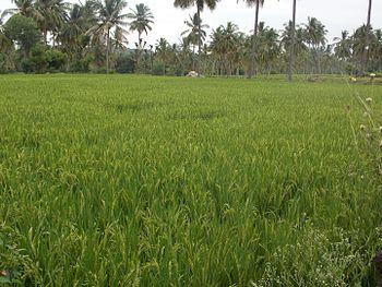 Green crops.jpg