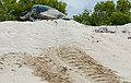 Green sea turtle laying eggs (4202525004).jpg