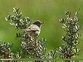 Greenish Warbler (Phylloscopus trochiloides) (36926545042).jpg