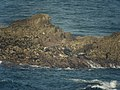 Grey Seals (Halichoerus grypus) near Gwennap Head - geograph.org.uk - 1056601.jpg