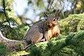 Grey Squirrel, Stirling Ontario 3442 (4999566193).jpg