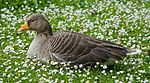 Greylag Goose in St James's Park, London - May 2006.jpg