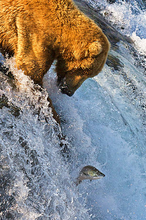 Alaska - Grizzly bear fishing for salmon at Brooks Falls, part of Katmai National Park and Preserve.