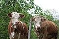Guard Cows (140458945).jpeg