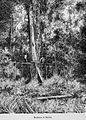 Guatemala land quetzal Brigham 1887 18.jpeg