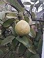 Guava .jpg