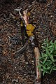 Guepiniopsis alpina 5853.JPG