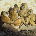 Guinea baboon family.jpg