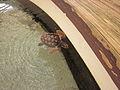 Gumbo Limbo turtle 3.JPG