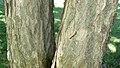 Gymnocladus dioicus bark Desoto.jpg