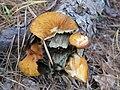 Gymnopilus sapineus 7065436.jpg