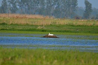 Höckerschwan (Cygnus olor) auf Nest.jpg
